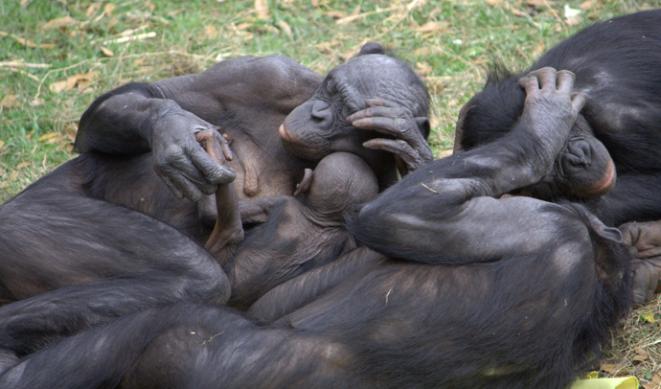 Menneskets nærmeste slektninger: Dvergsjimpanse, også kalt Bonobo (Pan paniscus)